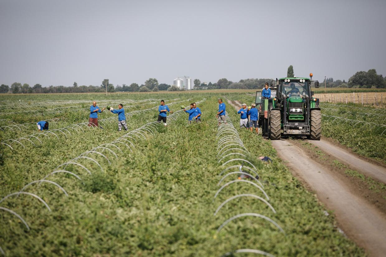Pestovanie melónov v Marcelovej