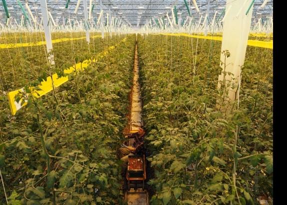 Chcete kvalitné paradajky? Jedzte slovenské