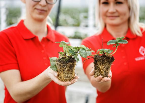 Jedinečná metóda umožnila farmárom zasadiť jahody v januári