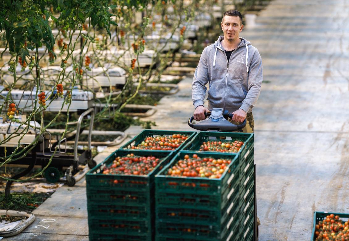 Ako sa pestujú paradajky v zime?