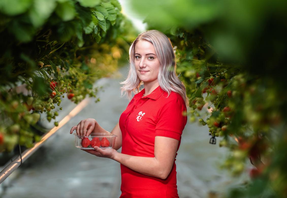 Prvé slovenské jahody sa zbierajú už teraz. Vypestovali ich inovatívnou metódou