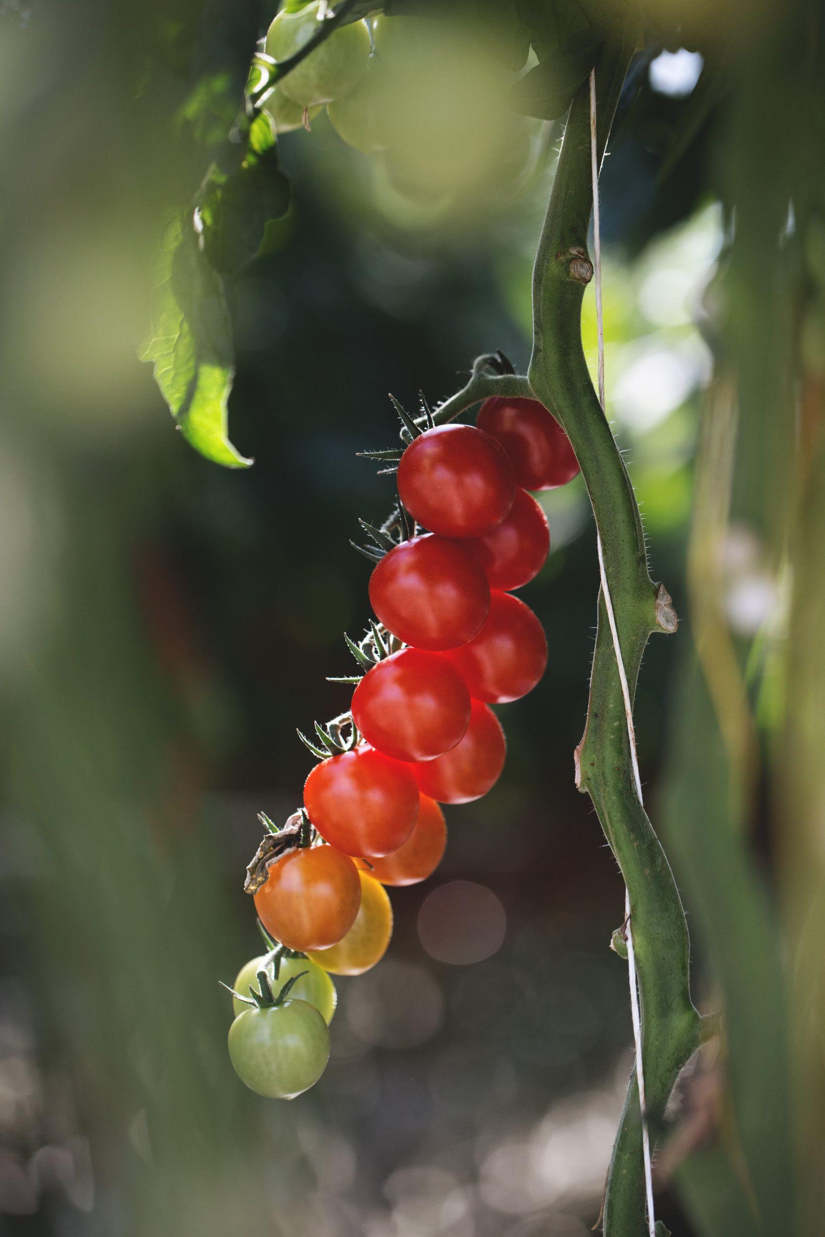 ako strihat paradajky